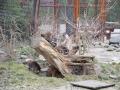 Waschbären auf dem Baumstumpf