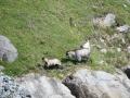 Die Ziegen am Lysefjord