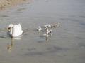 Schwan mit Jungen im Wasser