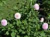 Blumen im Public Garten 2