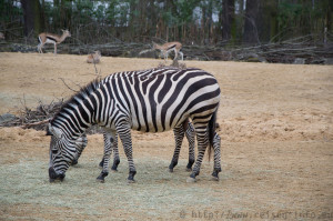 Zebra im Erlebnis-Zoo Hannover