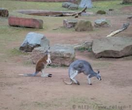 Kängeruhs im Erlebnis-Zoo Hannover