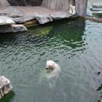 Eisbären in der Wilhelma