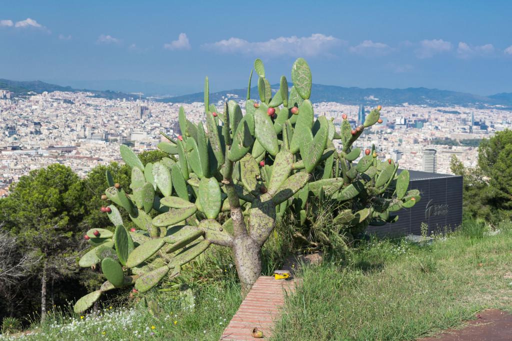 Kaktus vor dem Panorma von Barcelona