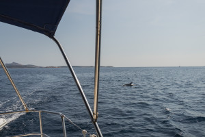 Delfine vor unserer Segelyacht