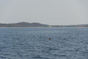 Delfine vor Sardinien
