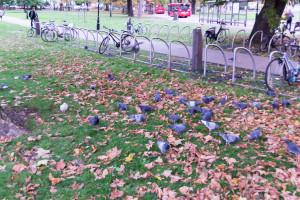Ealing London - Park mit Tauben