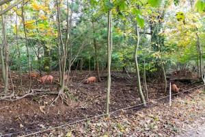 The Lost Gardens of Heligan - Schweine in natürlicher Umgebung