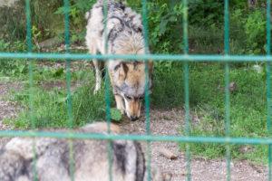 Wolf beim Essen - Wisentgehege Springe