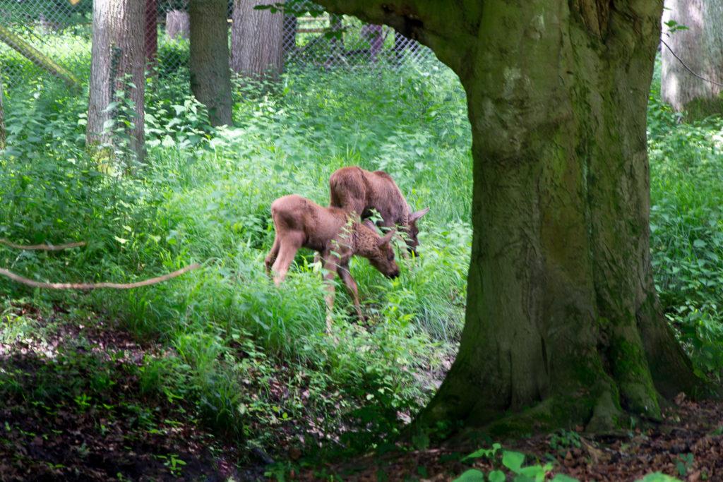 zwei Baby Elche - so süß