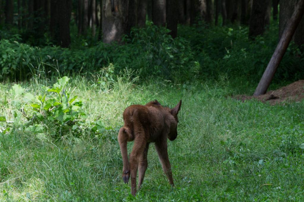 Ein Baby Elch