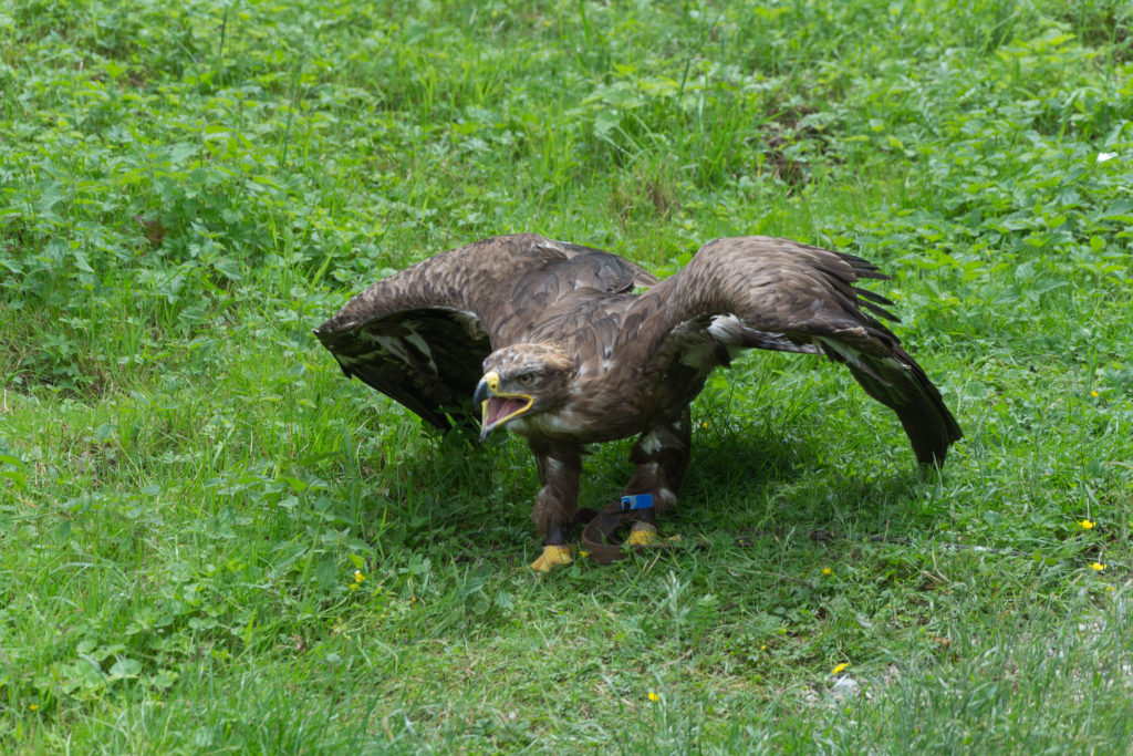 Werden wir vom Adler angegriffen?