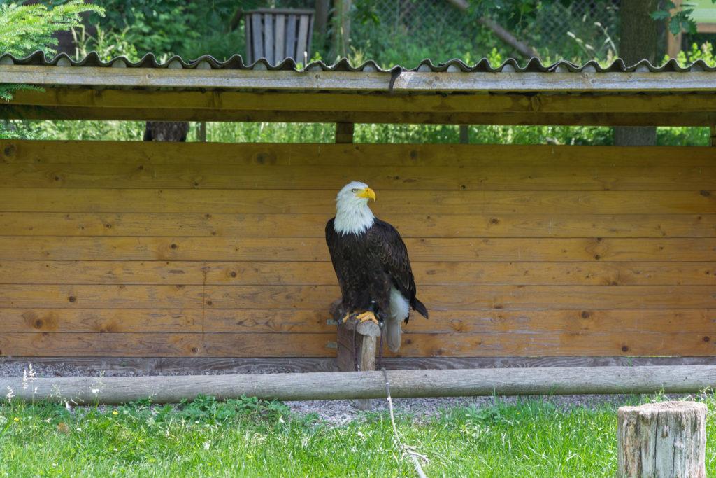 Seeadler - das USA Wappentier!
