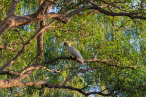 Kakadu im Baum