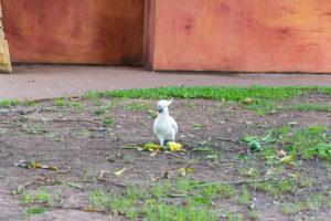 Kakadu beim Mango Essen