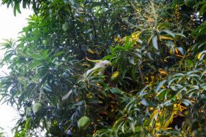Kakadu ißt Mango im Mangobaum
