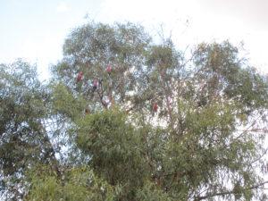 Rote Kakadus