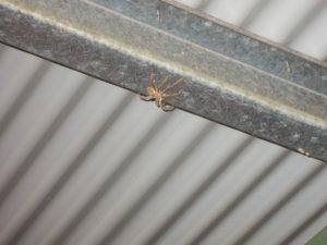 kleine Spinne in Australien