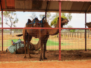 Einmal Kamel reiten?