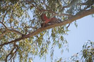 Fliegender roter Kakadu