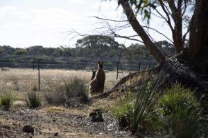 Känguruh auf der Wiese
