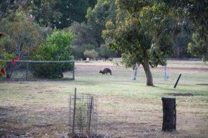 Känguruh auf dem Campingplatz
