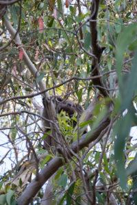 Noch ein Koala im Baum