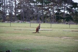Känguruh aus der Nähe