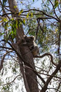 Entdeckter Koala