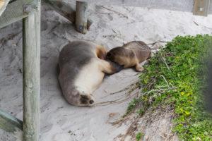 zwei Seelöwen - Mama und Baby