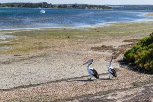 Pelikan auf Kangaroo Island