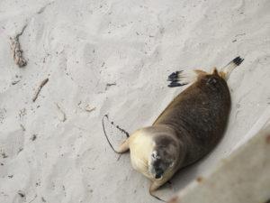 Einzelner Seelöwe Strand