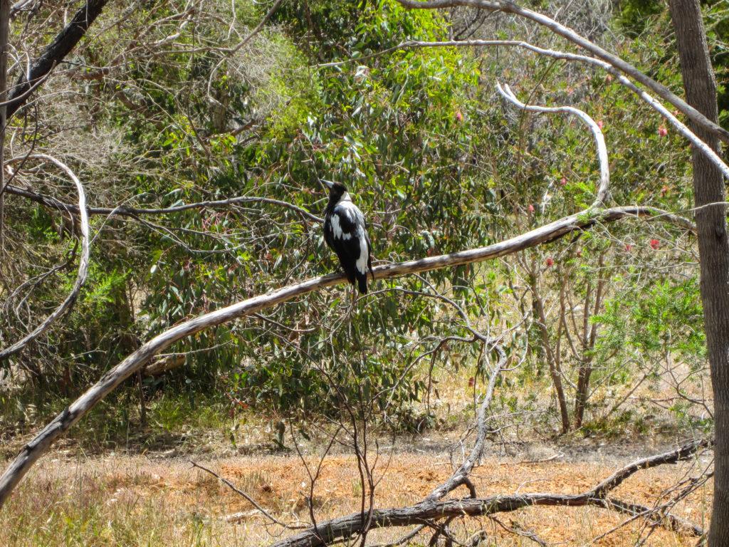 Krähe in Australien