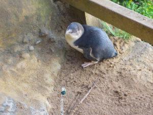 Kleiner Pinguin bei den Gibson Steps
