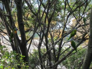 Zwei Allfarbloris im Baum