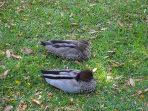 Enten auf der Wiese in Sydney