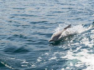 Delphin im Fjord des Omans