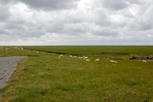 Da grasen sie die Schafe auf dem Nordseedeich