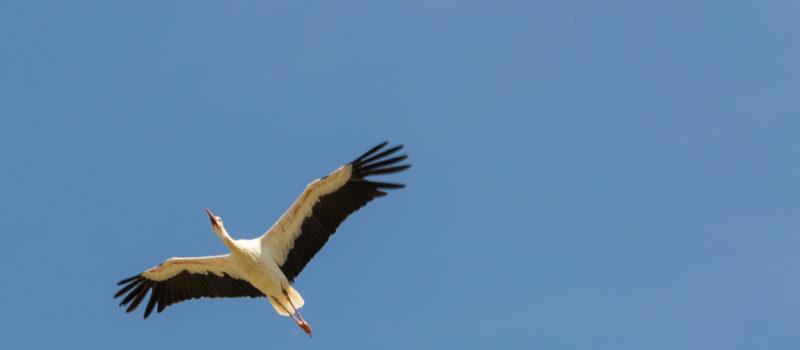 Storch über dem Affenberg Salem